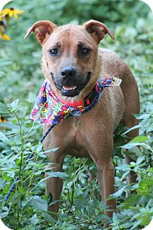 Hound (Unknown Type) Mix Dog for adoption in Greenville, South Carolina - Cass