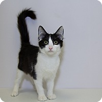 Domestic Mediumhair Kitten for adoption in Mission Viejo, California - Eva