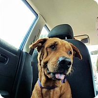 Adopt A Pet :: Buddy Paddington, the  gas sta - Missouri City, TX