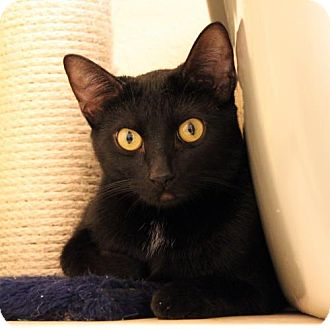 Domestic Shorthair Cat for adoption in Dallas, Texas - Bear