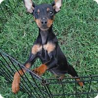 Adopt A Pet :: Lindy - Orlando, FL