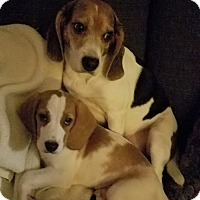 Beagle Mix Puppy for adoption in cicero, New York - Beau and Billy