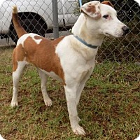 Adopt A Pet :: Jasmine - Kailua-Kona, HI