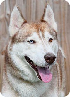 Siberian Husky Dog for adoption in Jupiter, Florida - Coulson