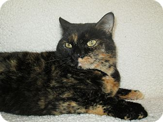 Domestic Shorthair Cat for adoption in Richland, Michigan - Abby