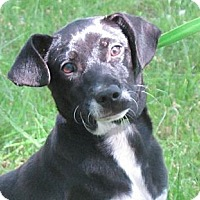 Adopt A Pet :: Simon - Brattleboro, VT