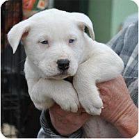 Adopt A Pet :: Ariel - New Boston, NH