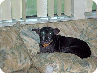 Chihuahua Mix Dog for adoption in Homosassa, Florida - Mollie