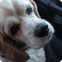 Adopt A Pet :: Gilliam - Menomonee Falls, WI