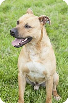 Pit Bull Terrier Mix Dog for adoption in Bedford, Indiana - Goober
