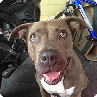 Pit Bull Terrier Mix Dog for adoption in Orlando-Kissimmee, Florida - Jewels