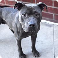 Adopt A Pet :: Lou-Pending! - Detroit, MI