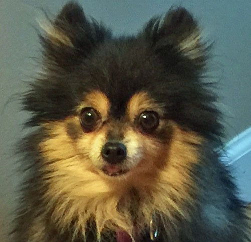 Pomeranian Puppies For Sale In Utah | Dog Breeds Picture