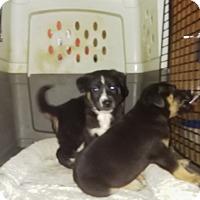 Adopt A Pet :: Lil tri boy - springtown, TX