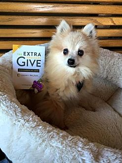 Pomeranian Dog for adoption in Elizabethtown, Pennsylvania - Foxy Leach