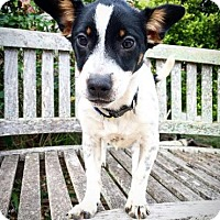 Rat Terrier Mix Puppy for adoption in Fredericksburg, Texas - Lexie