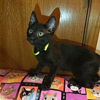 Domestic Shorthair Cat for adoption in Tyler, Texas - A-Eddie
