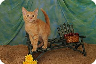Domestic Shorthair Kitten for adoption in mishawaka, Indiana - Rosie