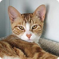 Domestic Shorthair Cat for adoption in Mountain Center, California - Azalea