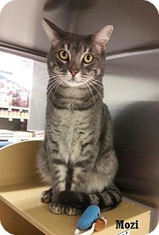 Domestic Shorthair Cat for adoption in Fullerton, California - Mozzi