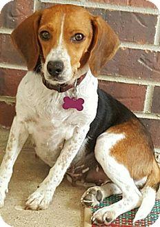 Beagle Dog for adoption in Mansfield, Texas - Janie