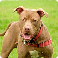 Pit Bull Terrier Dog for adoption in Vero Beach, Florida - HANDSOME