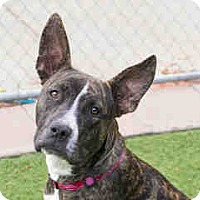 American Pit Bull Terrier Mix Dog for adoption in Agoura, California - Freya
