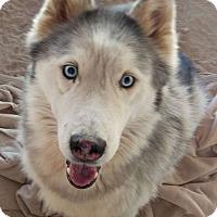 Adopt A Pet :: Cochise - Las Vegas, NV