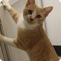 Domestic Shorthair Cat for adoption in Houston, Texas - PJ