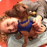 Adopt A Pet :: Pablo, an Italian Greyhound mix puppy - Arlington, WA