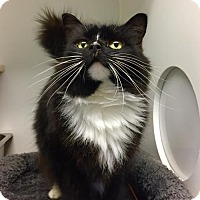 Adopt A Pet :: Smudge - West Cornwall, CT
