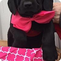 Adopt A Pet :: Tequilla Rose - Stamford, CT