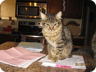 Domestic Longhair Cat for adoption in Glendale, Arizona - Mars
