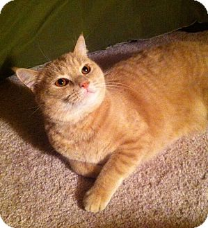 Domestic Shorthair Cat for adoption in Germansville, Pennsylvania - Taz