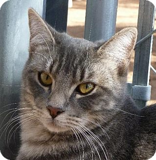 Domestic Shorthair Cat for adoption in Las Cruces, New Mexico - Shye