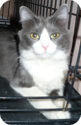 Domestic Longhair Cat for adoption in Pueblo West, Colorado - Kyra