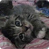 Adopt A Pet :: Kitten 2 - Davis, CA
