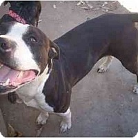 Adopt A Pet :: Capone - Lodi, CA