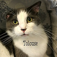 Domestic Mediumhair Cat for adoption in Wichita Falls, Texas - Tolouse