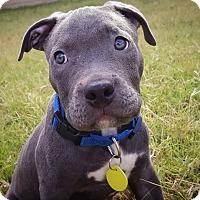 Adopt A Pet :: Sumo - Austin, TX