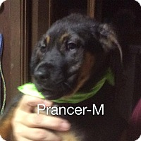 Adopt A Pet :: Prancer - Buffalo, NY