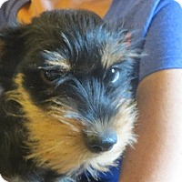 Rochester Ny Schnauzer Miniature Mix Meet Brody A Puppy For Adoption