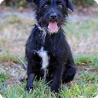 Adopt A Pet :: Worlie - San Diego, CA