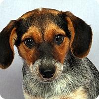Adopt A Pet :: Kendall Heeler Mix - St. Louis, MO