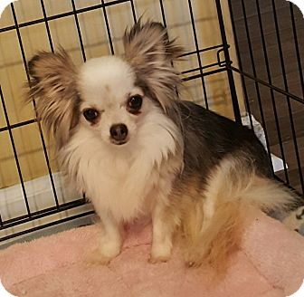 Chihuahua Mix Dog for adoption in Summerville, South Carolina - Anna