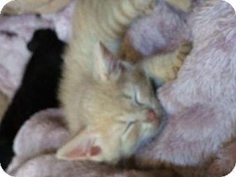Domestic Shorthair Kitten for adoption in Devon, Pennsylvania - Carl