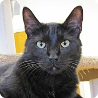 Domestic Shorthair Cat for adoption in Woodstock, Illinois - Jinkster