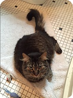 Domestic Longhair Cat for adoption in West Dundee, Illinois - Duke