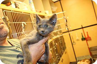 Domestic Shorthair Kitten for adoption in Rochester, Minnesota - Gregory