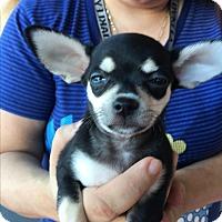 Chihuahua Puppy for adoption in Santa Ana, California - Annie (<2 lbs)